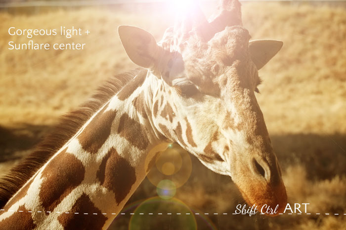 giraffe gorgeous light sunflare center